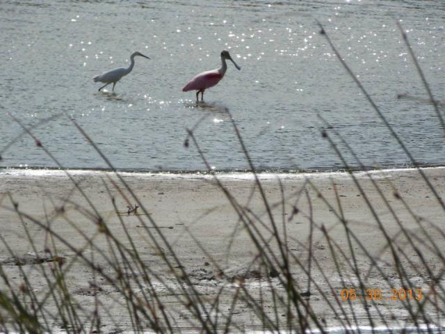 wildlife in the park (Rosetta Spoonbill and Little Egret)